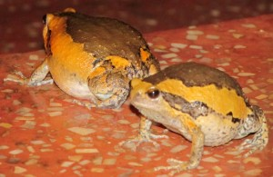 Cambodian Frogs