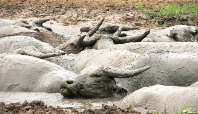 Blissful buffalo sludge-boulders in their bovine spa.