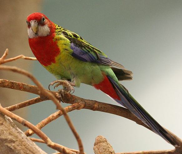 Eastern Rosella - flying rainbows.