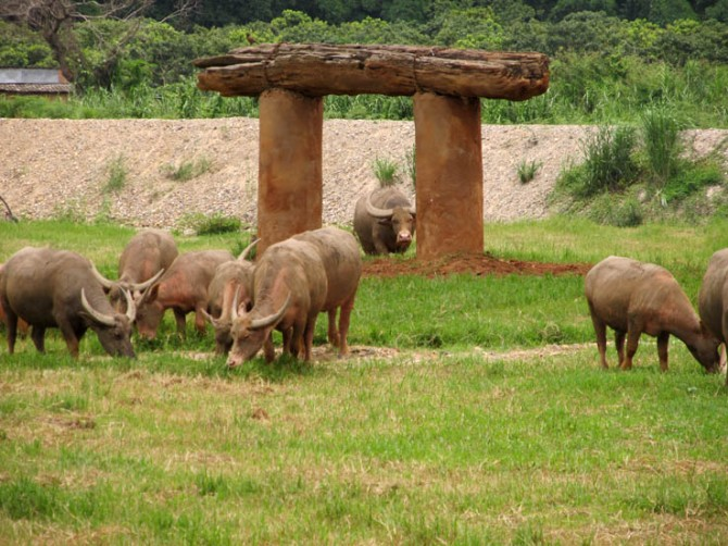 Bovine lawn mowers near a pachyderm-sized scratching pole setup. Elephant Nature Park.