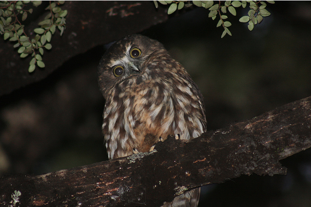 A Morepork. Photo courtesy of 'in paradise', Flikr.