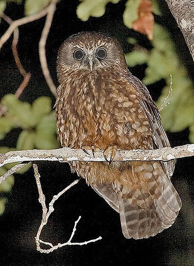 This is a Morepork, or a Ruru as known in New Zealand. There were certain similarities between Otis and one of these.