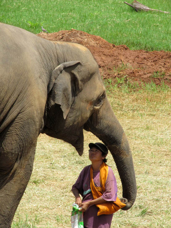 Luckily, elephants are vegetarians. One of the Park residents, Pom, giving an ele a treat.