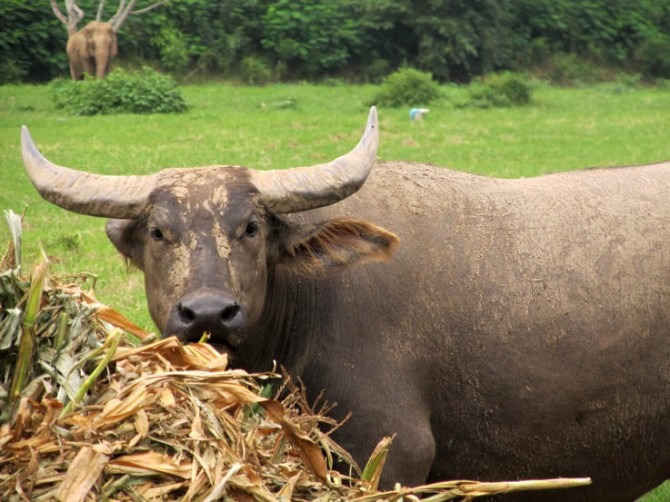 Doh! The intelligent look (pffft!) on a buffalo's face.