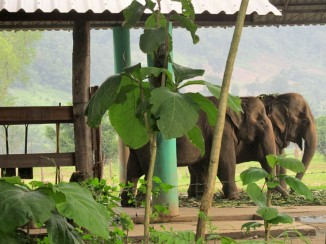 """""""Our task must be to free ourselves from this by widening our circle of compassion to embrace all living creatures and the whole of nature in its beauty."""" Albert Einstein. Elephants strolling by at Elephant Nature Park"""