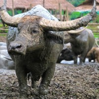 Camera Rambles: Buffalo Sludge-Boulder Portraits (and a Cow)