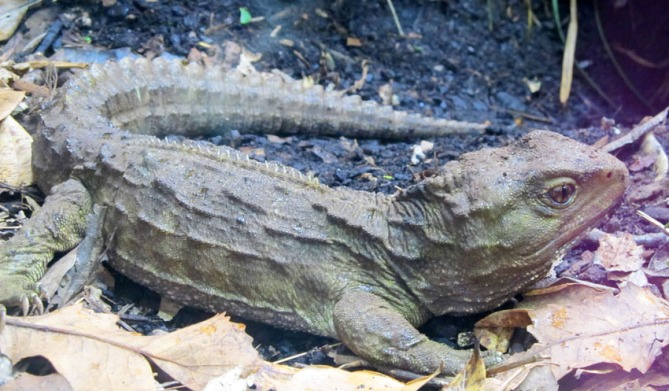 Baby Tuatara - New Zealand's 'living dinosaur'. The only surviving members of its order order 'Rhynchocephalia'.