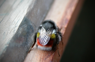 The Himalayan Red-Bottomed Bumble Bee
