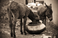 Donkeys stealing food. Chitkul, Himalayas.