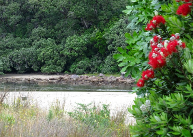 Flowering Pohutukawa tree in the foreground at the estuary, Whangamata, Coromandel, North Island.
