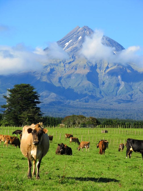 Mount Taranaki, West Coast, North Island. Also featuring in the foreground, 'Betsy', of New Zealand Bovine Models Inc, TM. The Tariki Schoolhouse lives under this mountain.