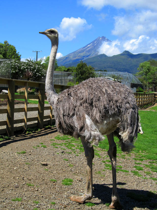 Mount Taranakai, with a conveniently placed, really large chicken in the foreground.