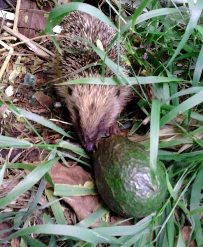 Russell the prickle-critter, saving me from nasty vicious avocados.