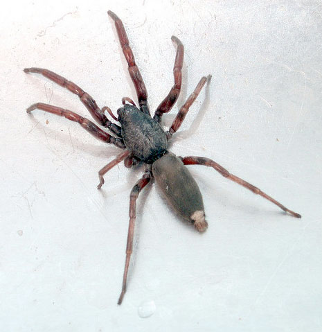 I can SO stuff up your day! White tail spider - kindly lent to us by Australia. Thanks neighbours. Pffft! Photo courtesy of Kaptain Kobold.