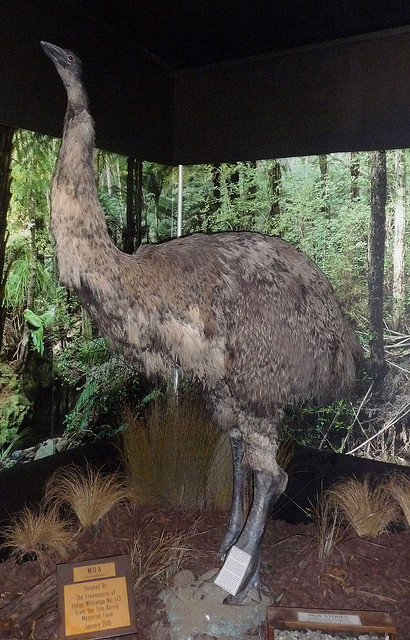 An actual Moa - extinct native species of New Zealand. Try as I might, I still can't see the resemblence to a blue-eyed chocolate-point siamese-looking feline quadraped. Photo courtesy of Snigl3t on Flikr.