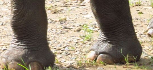 Healthy elephant feet. This is what his feet Should look like. Imagine his pain...