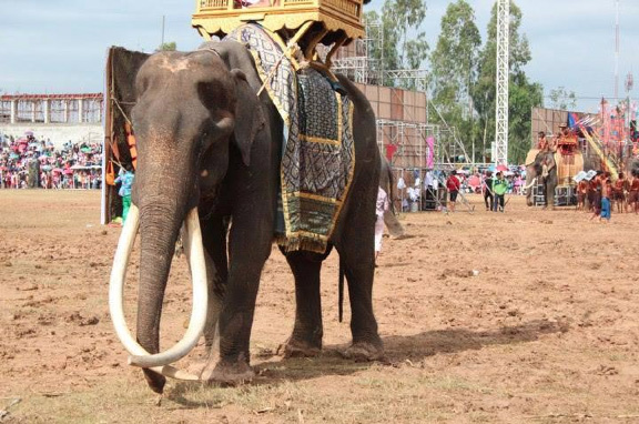One of the elephants at the Surin roundup.