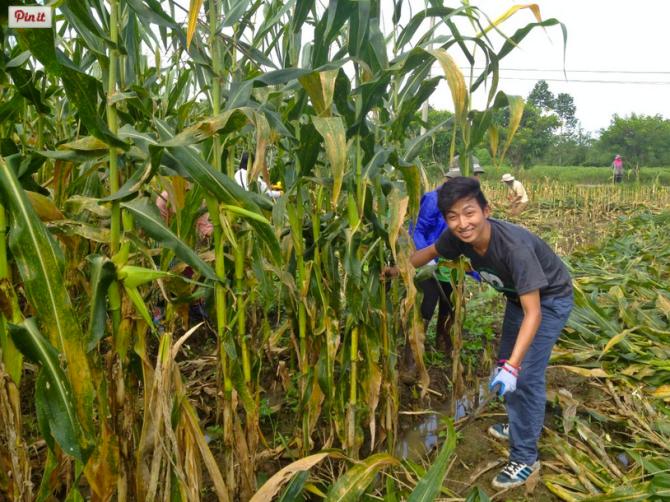 Sauj - doing the dreaded corn-cutting job.